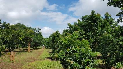 베트남 아보카도 농장.jpg